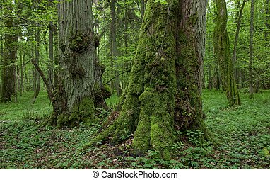 Old moss covered linden trees inside natural deciduous stand...