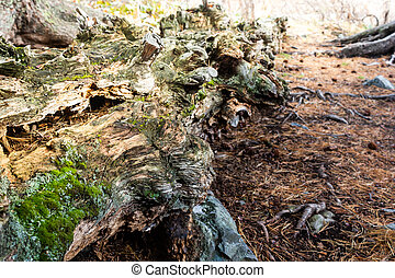 Old moss covered tree in forest