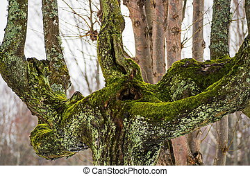 Old moss-covered tree in winter.