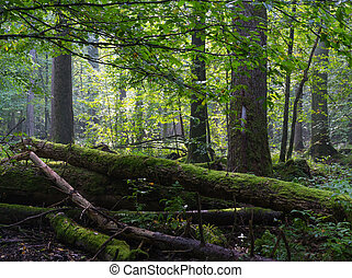 Old moss wrapped ash tree lying in deciduous stand - Old...