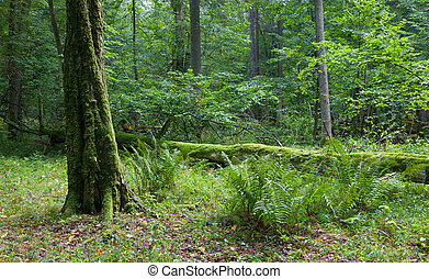 Old mossy tree moss wrapped next to ferns in forest