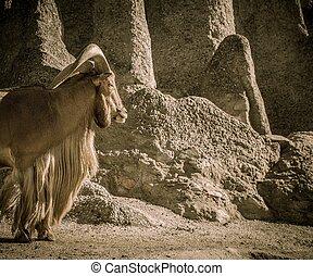 Old mountain goat