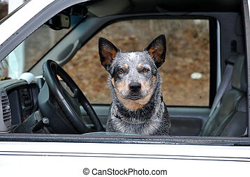 Old Mutt in the Drivers Seat