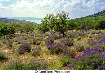 old natural Levander Field in Tihany Hungary with lake Balaton view