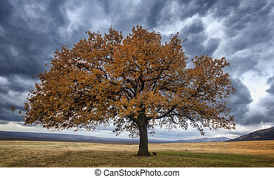 Old oak alone in the field