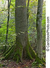 Old oak and hornbeam in morning - Old oak and hornbeam tree ...