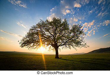 old oak on meadow at sunset