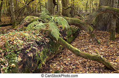 Old oak partly declined trunk lying with fern on top
