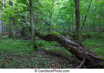 Old oak tree broken lying in spring forest