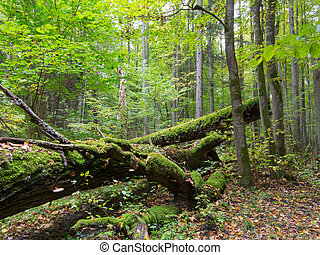 Old oak tree broken lying in summertime forest