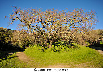 Old oak tree in a grass field with hills