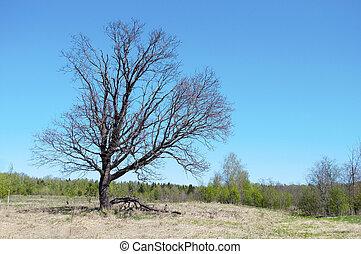 Old oak tree in spring time
