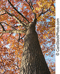 Old oak tree in the fall 1 - Old oak tree in the fall with ...
