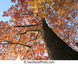 Old oak tree in the fall with bright blue sky