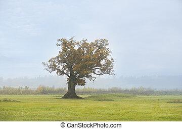 Old oak tree on foggy morning