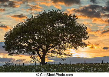 An old oak tree silhouette in the sunset twilight shadow eifel national park hiking recreation sky foliage. Outddor Created with a 5D mark III.