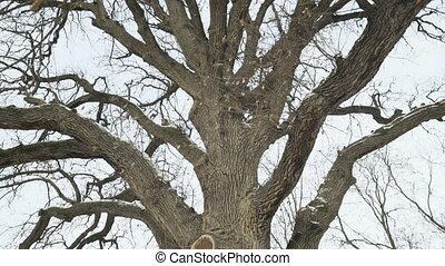 Old oak tree trunk in winter