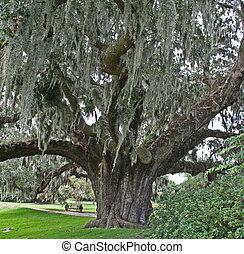 oak tree with moss