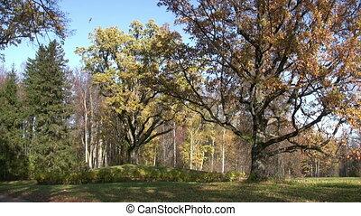Old oak trees in autumn finery