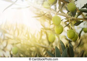 Old olive tree - Olives on olive tree in autumn. Season ...