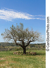 Old Olive tree on ble sky