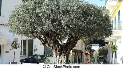 Old Olive Tree On The Old Village Of Roquebrune-Cap-Martin -...