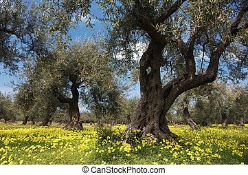 Old Olive Trees In Flower Meadow