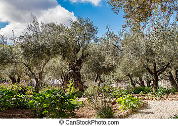 Old olive trees in the garden of Gethsemane on the Mount of...