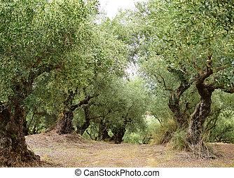 Old olive trees in Zakynthos island, Greece