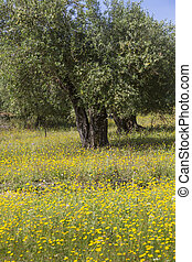 Old olive trees on a spring meadow in Greece