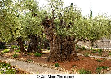 old olives in Gethsemane garden - old olives in Gethsemane...