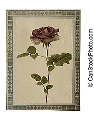Old paper vintage card with beautiful pink rose on white isolated background