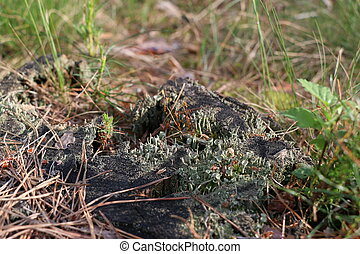 Old pine stump with green moss