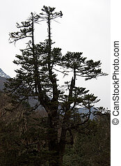 Old pine tree, Everest trail, Himalaya, Nepal