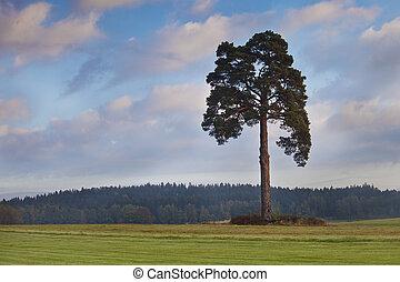 old pine tree in medow