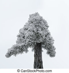 old pine tree in winter