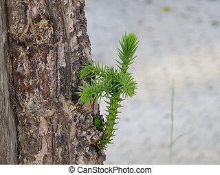 Old pine tree sporting fresh green new shoot