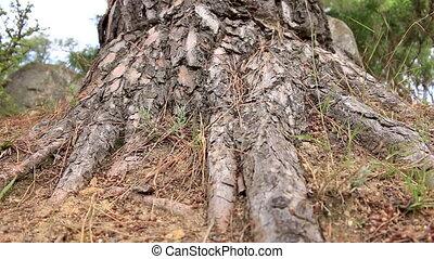 Old pine trunk (Pinus sylvestris) low angle shot