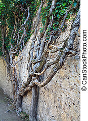 old plant on stone walls background