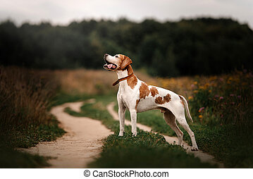 old pointer dog standing outdoors on a field in summer