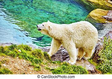 Old polar white  bear in his  natural habitat.