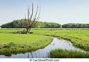 Old pollard-willows in Dutch country landcape