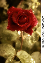 old postcard red rose