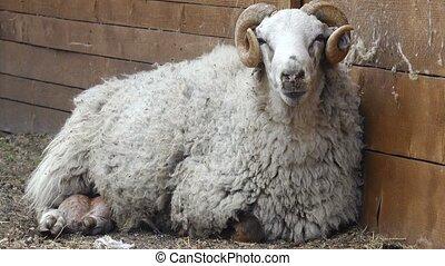 old ram on a farm