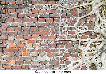 Old Red bricks wall with Tree roots Surrounded