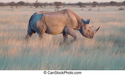 Old rhino close up walking field - Old rhino with horn close...
