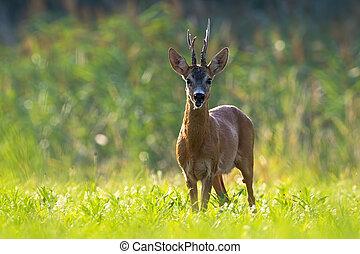 Old roe deer standing on meadow in summer.