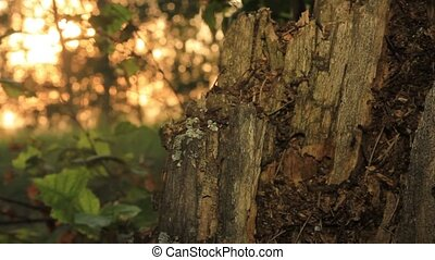 Old rotten birch stump and ants