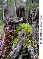 old rotten stump covered with moss