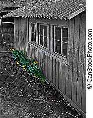 Old Rustic Chicken Cook with Daffodils Emphasized